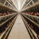 Why Automatic Poultry Farming Equipment Can Saves Time in the Management?