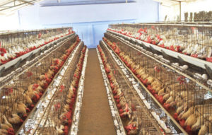 use livi chicken cages starting a own chicken poultry farm