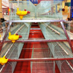 Do You Know These Vital Knowledge About Chicken Farm Equipment?
