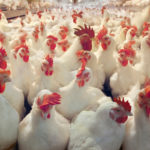 You Need It For Starting a Chicken Poultry Farm