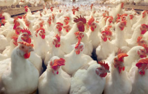 breeding chicken use livi poultry cages