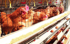 how to manage battery cage for layers in daily life?