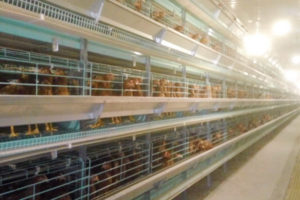 battery chicken layer cages