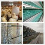 The Best Modern Battery Poultry Cage Seller in Uganda