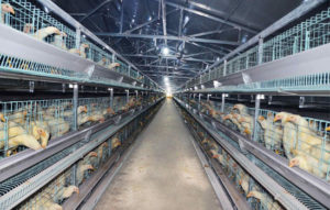 poultry battery chicken cages